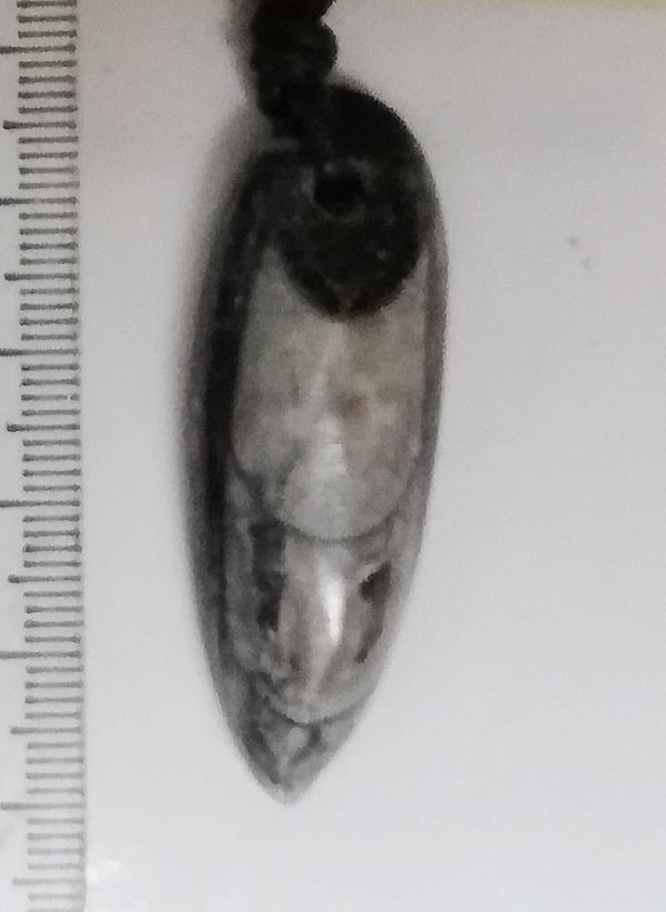 Orthoceras, Michelinoceras, Geradhorn, Orthoceras poliert ...Michelinoceras Fossil